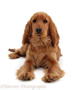 Dog: Red English Cocker Spaniel photo..Missing my coco. ....