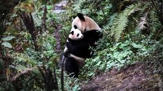 Two Baxi and Yingxue will be sent back to the wild later this month after training of more than two years. News China, Cute Panda, Back To Nature, Cute Animals, Panda Bears, Training, Babies, Twitter, Amor