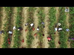 YouTubeΟ τρύγος στην Αρχαία Νεμέα από ψηλά.|The harvest in Ancient Nemea from above.Greece drone video.