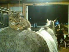 Kitten Comfortable on a Horse's Rump.