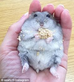 Hamster life: Little Moco enjoying her seeds while laying back in the comfort of her owners hand