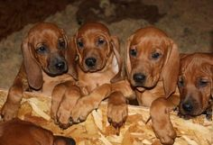 Redbone Coonhound. Nothing is as special as the love you get from a hound.