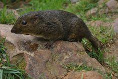 Bornean mountain ground squirrel - Wikipedia