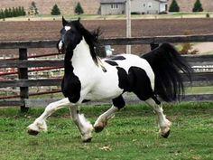 Pinto Friesian Stallion - video