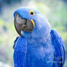 Hyacinth Macaw - ©Sharon Mau (via FineArtAmerica)