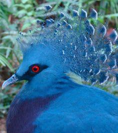 Découvrez 20 extraordinaires animaux bleus, une couleur rare dans le règne animal.....Le Goura de Scheepmaker