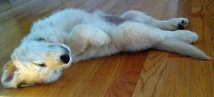 Ellie the English Cream Retriever: I am not going to fetch ANY English cream right now though, I am relaxing!