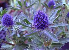 Afbeeldingsresultaat voor eryngium planum blue hobbit