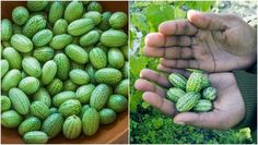 Most people have never heard of a cucamelon…and most people are missing out on a super awesome, tasty little fruit! Learn a bit about the neat fruit below…and how to grow cucamelons!    Also referred to as