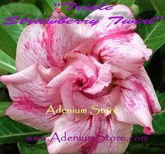 Adenium 'Triple Strawberry Twirl' 5 Seeds