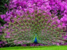 Nice shot of a peacock