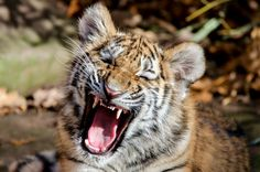 https://flic.kr/p/ADHc5B   Hey, I said NO PHOTOS!   One of the male siberian tiger twins ( named Aljoscha and Velodya ) born at Nuremberg Tiergarten on the 6th of July, 2015 from 4 year old mother Katinka and 3 year old father Samur  Nikon D7000, Tamron 150-600@600mm, f/6.3, 1/320s, ISO400, Tripod