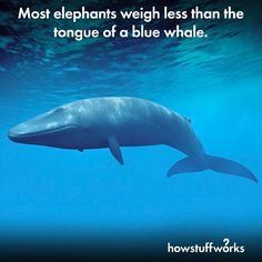 Most elephants weigh less than the tongue of a blue whale.