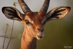 Close-up of a gerenuk antelope bathed in warm sunset light, the sun in the horizon reflected in the eye. Samburu, Kenya. #gerenuk #antelope #animals #wildlife #kenya #africa #samburu #eyecontact #wildlifephotography #wildlife_perfection #wildgeography #discoverwildlife #loves_africa #pocket_animal