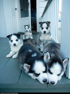 Husky Puppy Greeting Committee