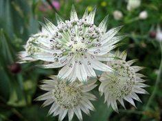 1 Astrantia major plant Easy low maintenance no slug white clay tolerant