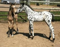Dream Makers Gabriel, Appaloosa Horse in Milaca, Minnesota Baby Horses, Cute Horses, Horse Love, Horse Girl, Wild Horses, Appaloosa Horses, All The Pretty Horses, Beautiful Horses, Horses