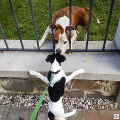 15.8.2016 - day 81 - chit-chat with a neighbour  Blackberry Passport  www.pavelvrzala.com  #SmoothFoxTerrier #puppy #little #dog #fence #chit-chat #Blackberry #Passport