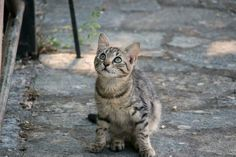 A kitten we met in Greece looking at my friend by ChokingOnYourScreams cats kitten catsonweb cute adorable funny sleepy animals nature kitty cutie ca