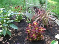 purple fountain grass & coleus