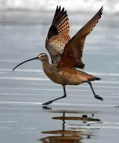 Long-billed Curlew - by mikebaird, via Flickr UK