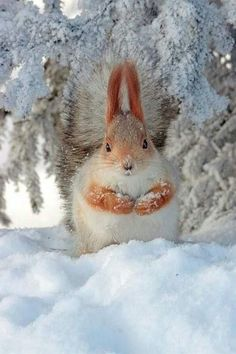 Squirrel in the snow. I added a border to it. Squirrel in the snow. I added a border to it. Animals And Pets, Baby Animals, Funny Animals, Cute Animals, Animals In Snow, Wild Animals, Beautiful Creatures, Animals Beautiful, Photo Animaliere