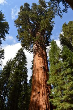 Redwoods Sequoia National Park