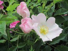 Raccontare un paese: dal mio orto: fiori...4 foto