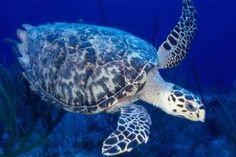 sea turtle Sea turtles (superfamily Chelonioidea), sometimes called marine turtles Reptiles, Marine National Park, Russian Tortoise, Rare Species, Tortoises, Animal Wallpaper, Underwater World, Snorkeling, Creatures