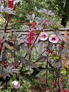 Roselle, Hibiscus sabdariffa -grow as an annual in Houston http://www.thedangergarden.com/2016/01/another-garden-visit-flashback-to.html?utm_source=feedburner