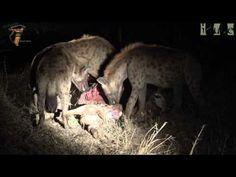 Hyenas Eat Giraffe Calf Stolen From Lions Hyena, African Safari, Lions, Giraffe, Traveling By Yourself, Calves, Wildlife, Eat, Photos