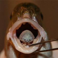 Bizarre Creature: Fish Tongue-Eating Louse