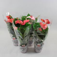 Anthurium andr. Exclusive mix 4 color Ø17cm in lace-sleeve