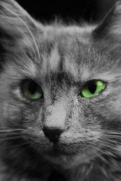 Kronic Cat | Pawshake Nelson