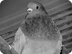 A188689, a Rock Dove/Rock Pigeon in CA, needs a home now! See her on AdoptaPet.com