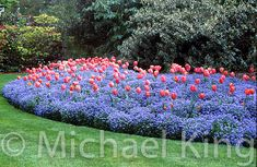 A beautiful sea of forget-me-not's with tulips popping out from them...I want my garden to look like this!!!