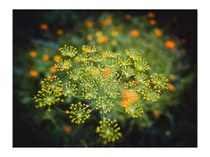 Herb Seeds - Dill Fernleaf - Greek Heirloom Variety - Herb Garden Seeds - Organic Seeds - Non Gmo Seeds - Easy to Grow Dill  (200 Seeds)