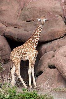 St. Louis Zoo giraffe #jLRoch