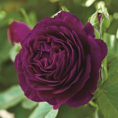 SHRUB  Ars Rating 7.4 Ppaf Zone 5  Flowers: Deep velvet purple Blooms: Continuous - sets buds and blooms throughout the season Fragrance: Strong clove and spice  Grandiflora Roses are similar to Hybrid Teas in  habit and size, but present their blooms in clusters  of 5-7, rather than one per stem Features Fragrant Cut Flower Long Bloomer Sun Exposure Full Sun Flower Colors Purple Foliage Colors Green Foliage Height 4-5'  Spread (Width) 3-4' #hybridtearosesfragrant