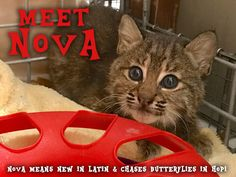 Her name is Nova! Thank you everyone who suggested such great names for the most recent bobcat kitten to be rescued for rehab back to the wild. See the 415 suggestions at today's update page: https://bigcatrescue.org/feb-3-2017/Nova means new in Latin (appropriate since she will be the first in the new rehab cages). It also means chases butterflies in Hopi (Native American). — at Big Cat Rescue.