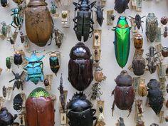 Beetle Collection Broun 2.JPG (2592×1944)