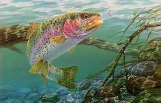 swim meet rainbow trout