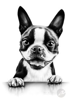 """""""Table manners"""" - boston terrier graphite pencil drawing by Kerli Toode 
