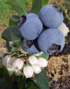 """Blueberry Burst: naturally dwarf variety w/ extremely large fruit size, high yielding, early season flowering and early season harvest. Fruit size can be up to dollar coin size. Harvest starts in early July in warmer areas and Aug/Sep in cooler areas. The fruit is a crisp fleshed, sweet fruit, harvested over 3 - 4 months. An evergreen, """"naturally dwarfing"""" variety growing to 1.0m high x 0.75m in width. Self fruitful. Low chilling requirement - can be grown anywhere in Australia."""