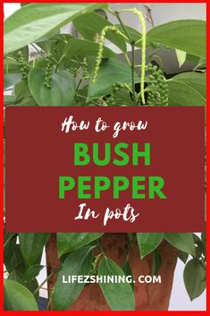 Learn Growing Bush Pepper in pots. Succulent Gardening, Container Gardening, Gardening Tips, Indoor Gardening, Herb Garden, Vegetable Garden, Pepper Plants, Grow Bags, Growing Roses