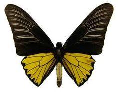Troides magellanus (Felder, Photo © by Naturhistorisches Museum Wien; Naturhistorisches Museum Wien, Butterfly Species, Southeast Asia, Dragonflies, Butterflies, Animals, Dragon Flies, Animales, Animaux