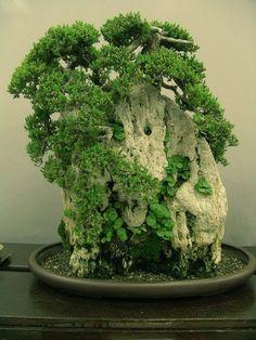 Bonsai Show, Balboa Park, San Diego, California. Bonsai by teresafranco, via… Ikebana, Miniature Trees, Miniature Fairy Gardens, Bonsai Making, Mini Terrarium, Bonsai Garden, Bonsai Trees, Growing Tree, Small Trees