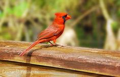 Red Cardinal Bird Bird Art Print Cardinal Bird by FineArtography