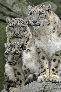 Snow leopard family