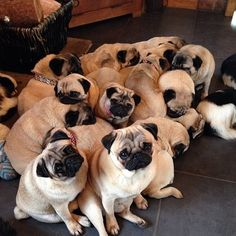 """cutepugpics: """" True happiness is found at the center of a Pug Pile! """""""